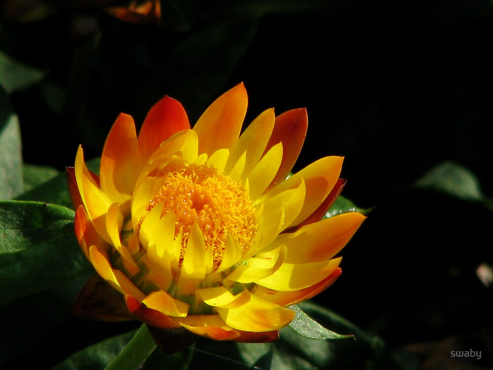 Strawflower by swaby