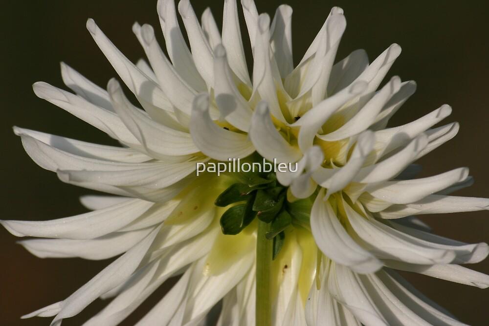 White Dahlia Two by Pamela Jayne Smith