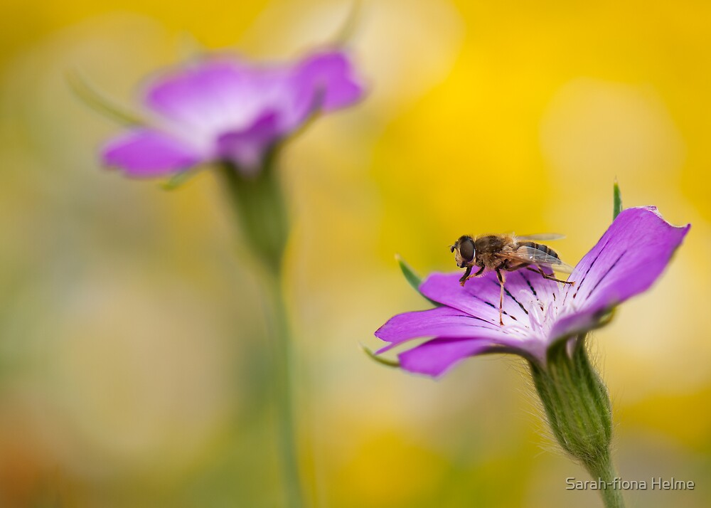 Corncockle Hoverfly by Sarah-fiona Helme