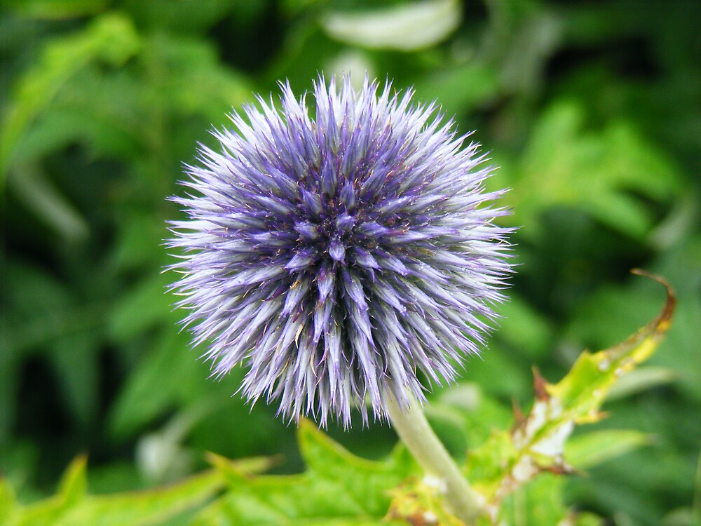 blue thistle flower by MeJude