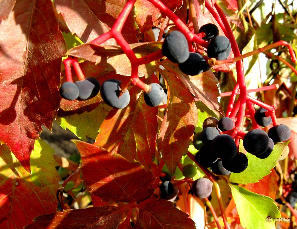 Autumn Berries by kenspics