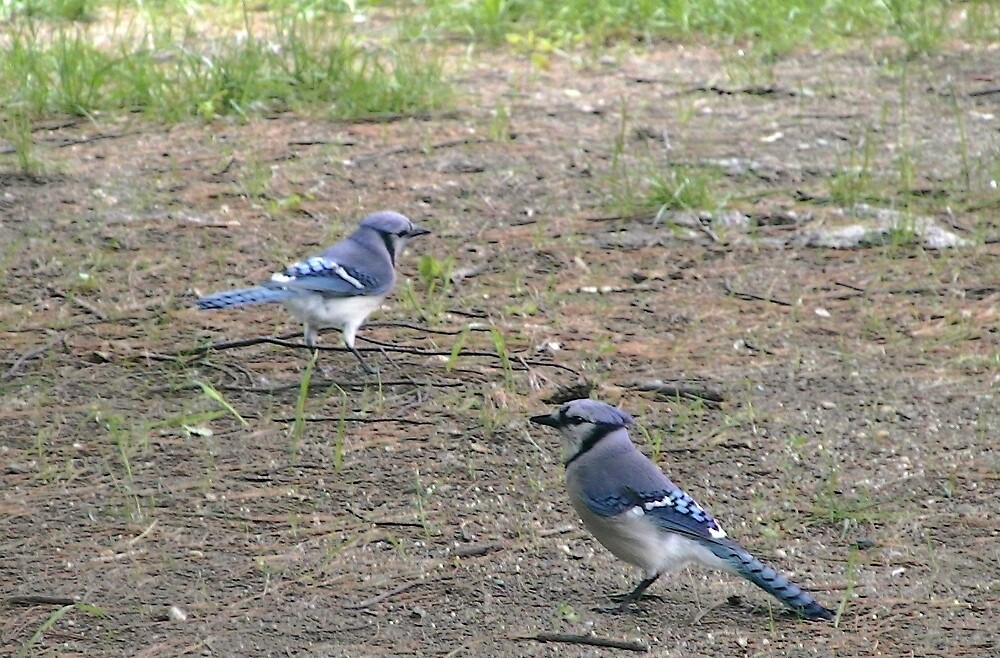 Blue Jays by Sherry Seely