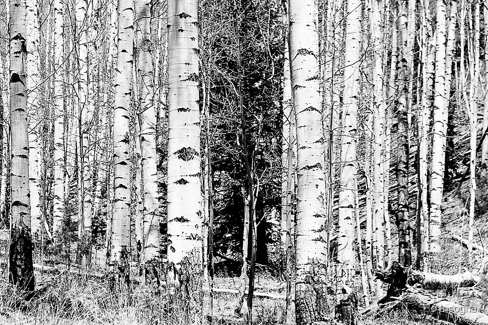 Aspens and The Pine by Bo Insogna