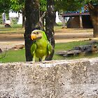 Parrot  by Asiantiger247
