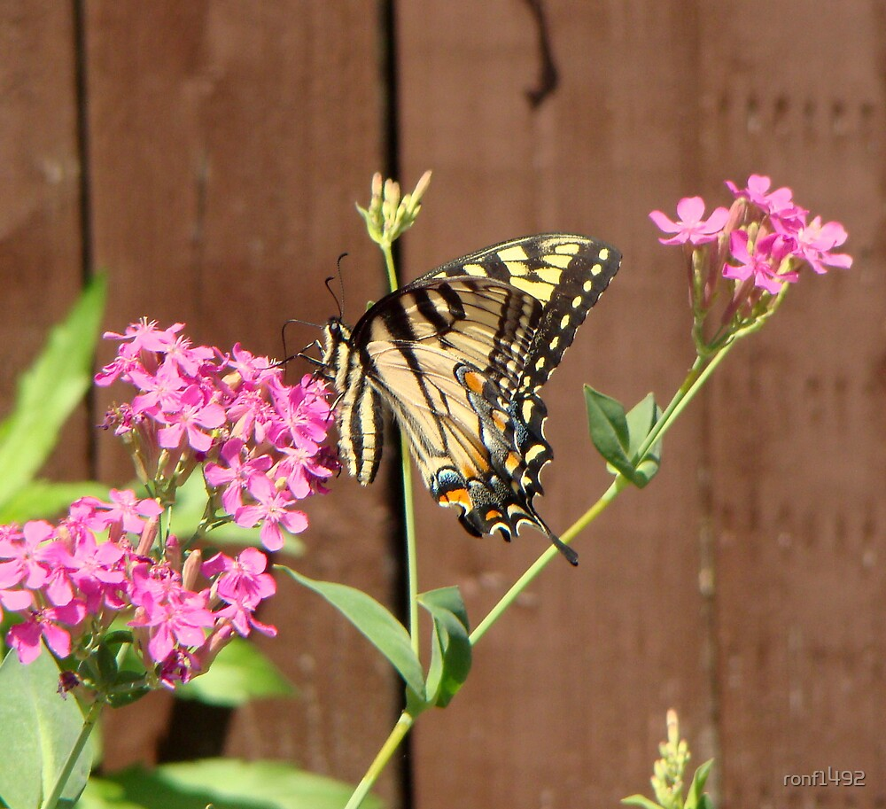 Eastern Tiger Swallowtail Butterfly by ronf1492