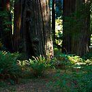 Redwood Forest #1 by Josef Grosch