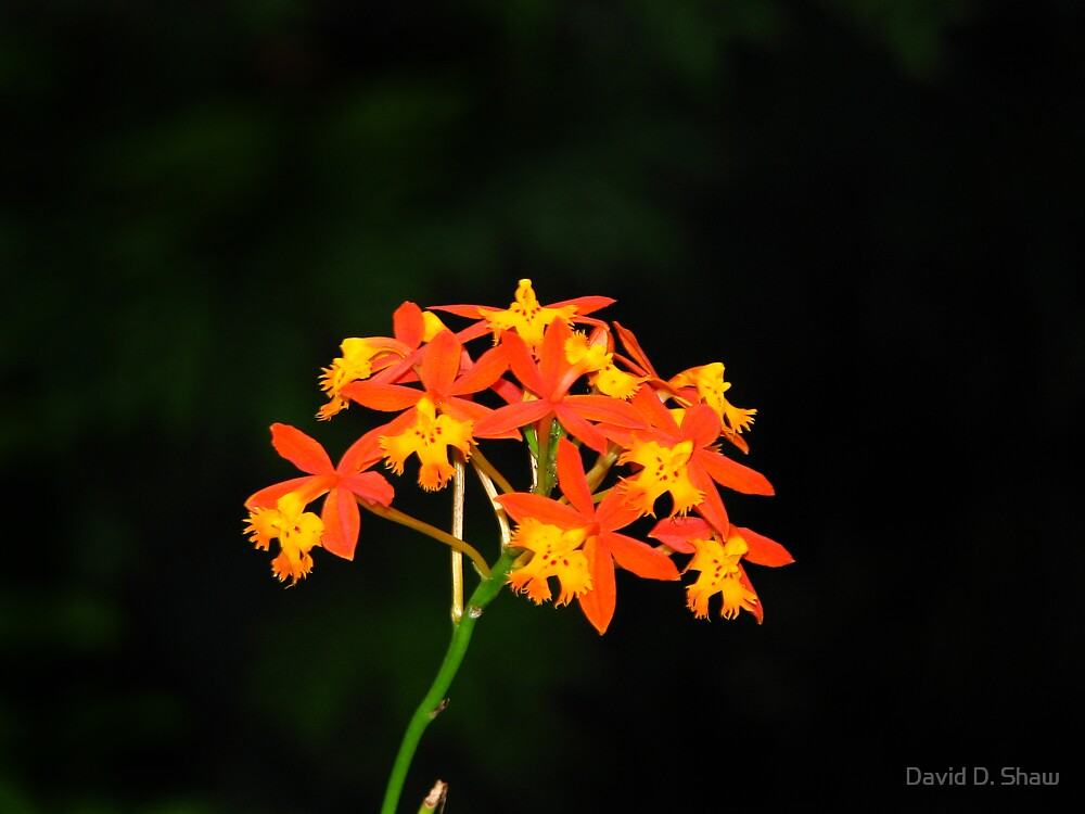 Small Orange and yellow Orchid by David Shaw