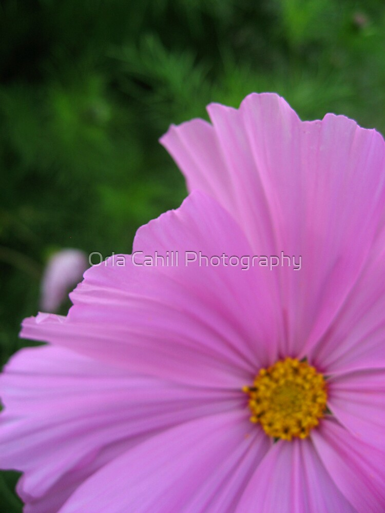 Soft Pink Floral Abstract by Orla Cahill Photography