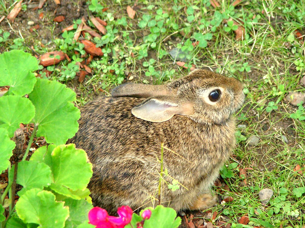 Cottontail Rabbit by ronf1492