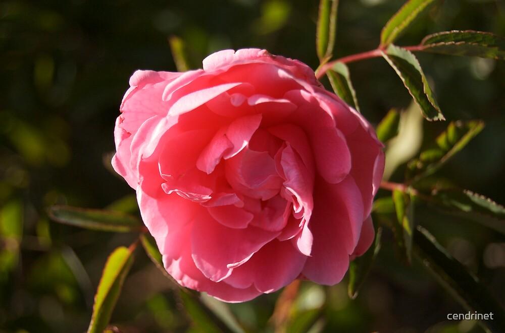 Wild Rose by cendrinet