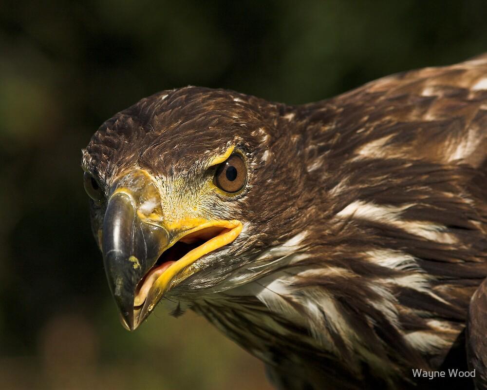 Juvenile Bald Eagle by Wayne Wood