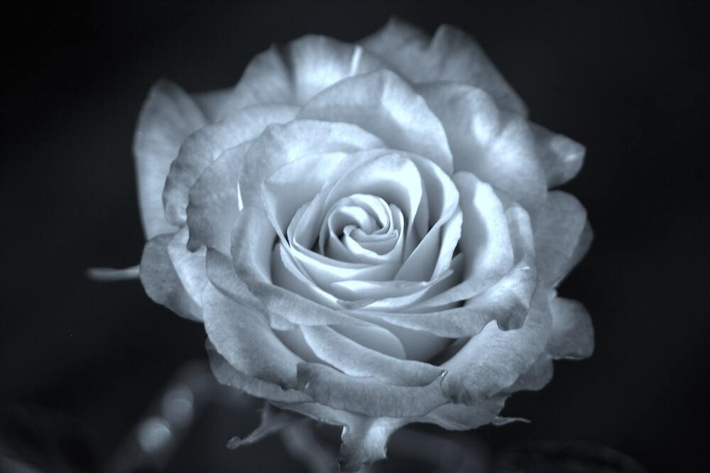 Blue Rose by CreativeDesign
