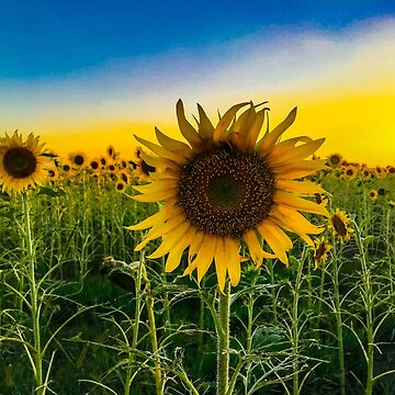 Sunflowers in a Kansas field by SiliconValleyUS