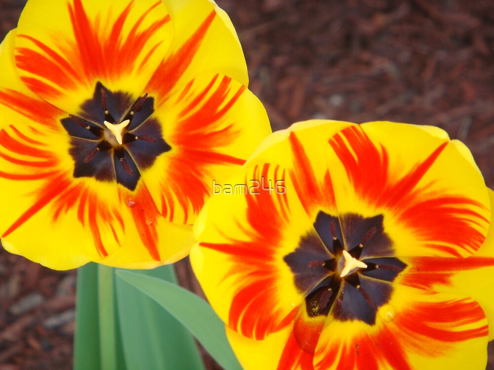 Two Tulips by bam246