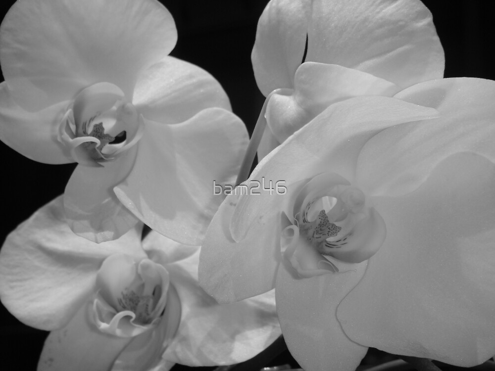 B&W Orchid by bam246