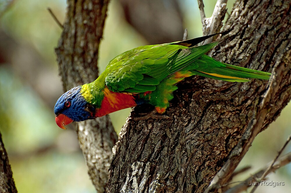 Australia's Most Colourful Bird by Janette Rodgers