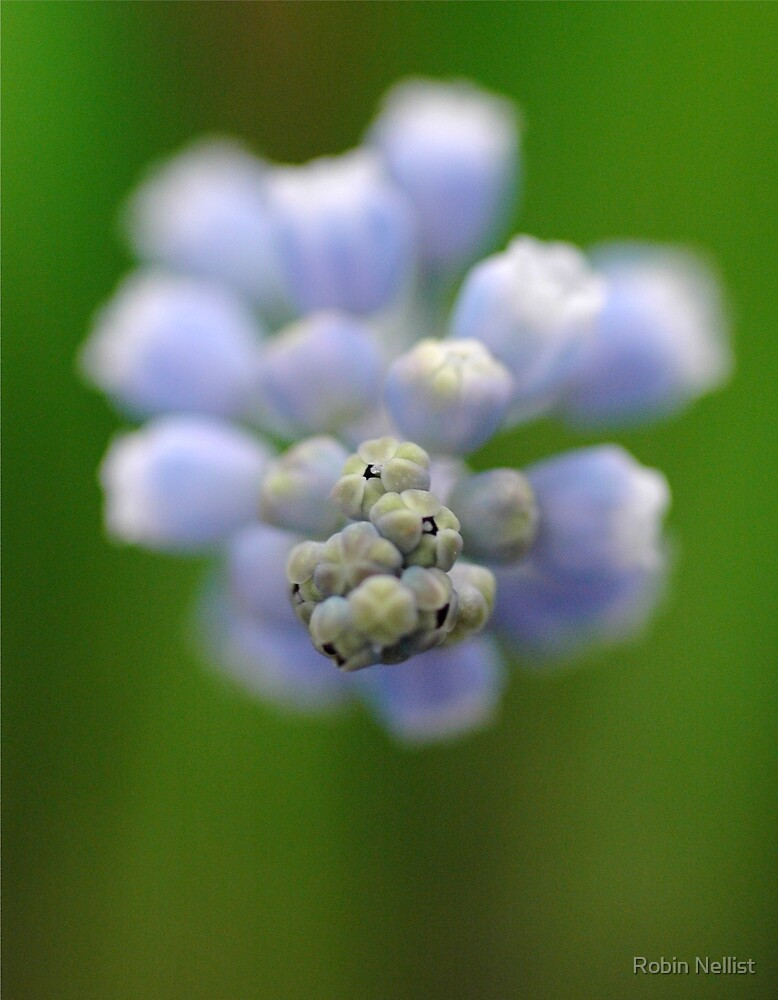 Grape Hyacinth by Robin Nellist