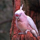 Pink Cockatoo by randmphotos