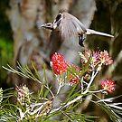 Honeyeater - QLD Australian  by Susanne Schmitz