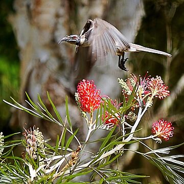Honeyeater - QLD Australian  by sanne424