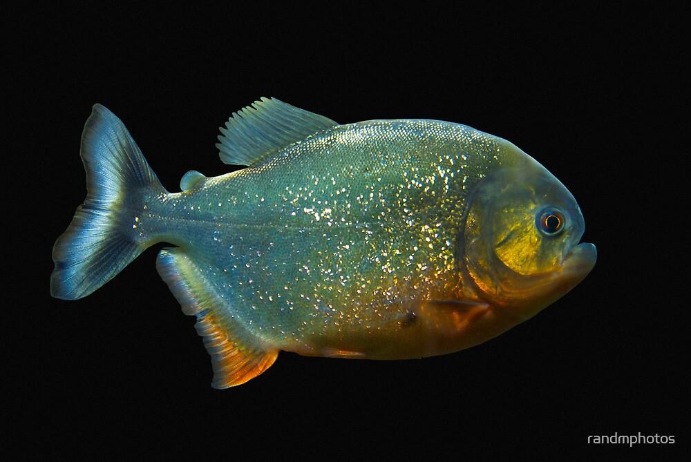 Piranha! by randmphotos