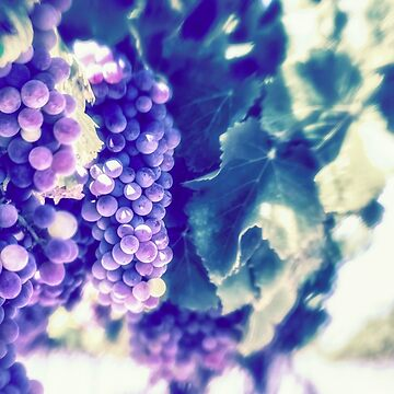 The best is yet to come wine grapes on the vine by MarniePatchett