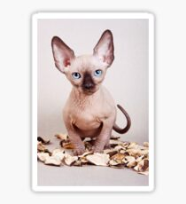 Sphynx kitten with blue eyes, no hair Sticker