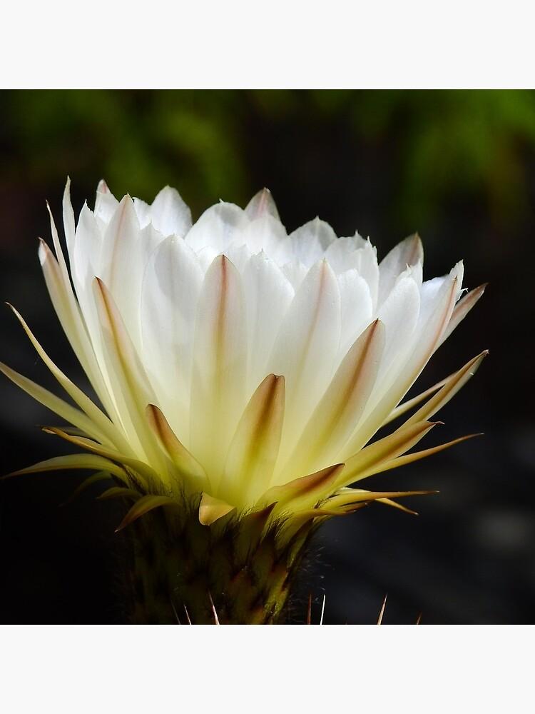 Illuminated White Petals by elaine226