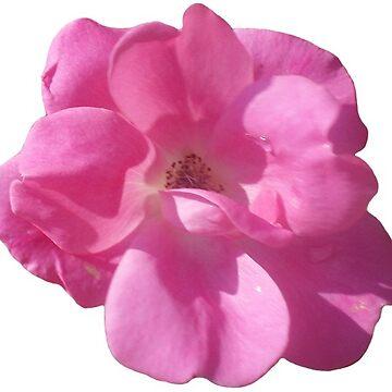 Pink Flower by harringe