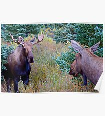 Moose couple Poster