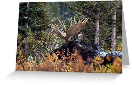Bull Moose by John  Sperry