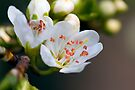 Plum Blossom by Andy Freer