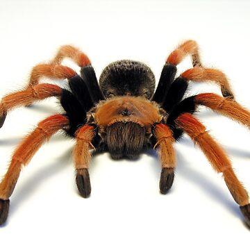 Mexican Beauty Tarantula Spider  by Kawka