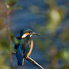 Kingfisher Between Leaves by kernuak
