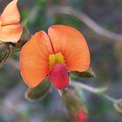Wild Flowers of  Western Australia by Rick Playle