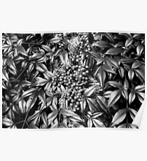 B/W Leaves and Berries  Poster