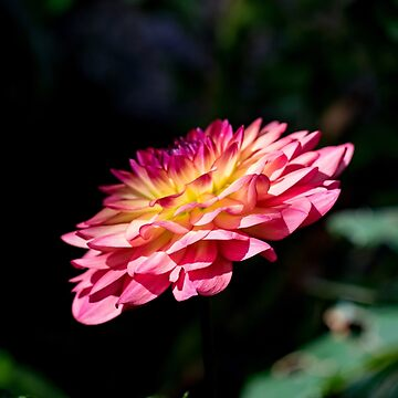 Dahlia flower in full bloom by capney