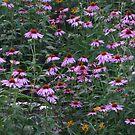Echinacea The Purple Cone Flower Field by Linda Miller Gesualdo
