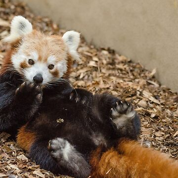 Red panda relaxing by photosbygemmad