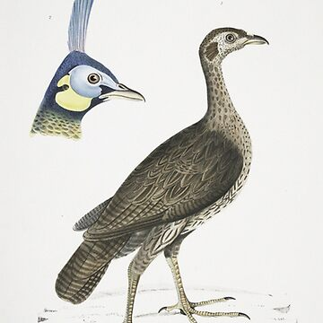 Peahen illustration by Geekimpact