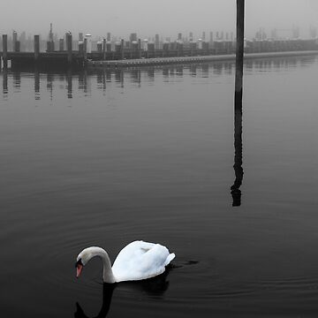 Quiet swan by fparisi753