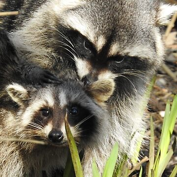 Raccoon mother love... by RichImage