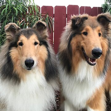 Rough Collie Buddies by jwphotos