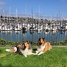 Sable Collies at Yacht Cub by Jan  Wall