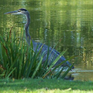 A Great Blue Heron by borgking001a