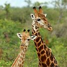 THE HAPPY COUPLE - GIRAFFE – Giraffa Camelopardalis by Magriet Meintjes