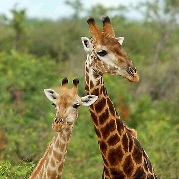 THE HAPPY COUPLE - GIRAFFE – Giraffa Camelopardalis by mags