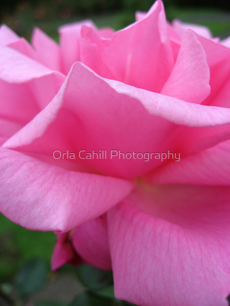 Soft Petal Pink by Orla Cahill Photography