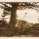 Sepia Tree by NancyC