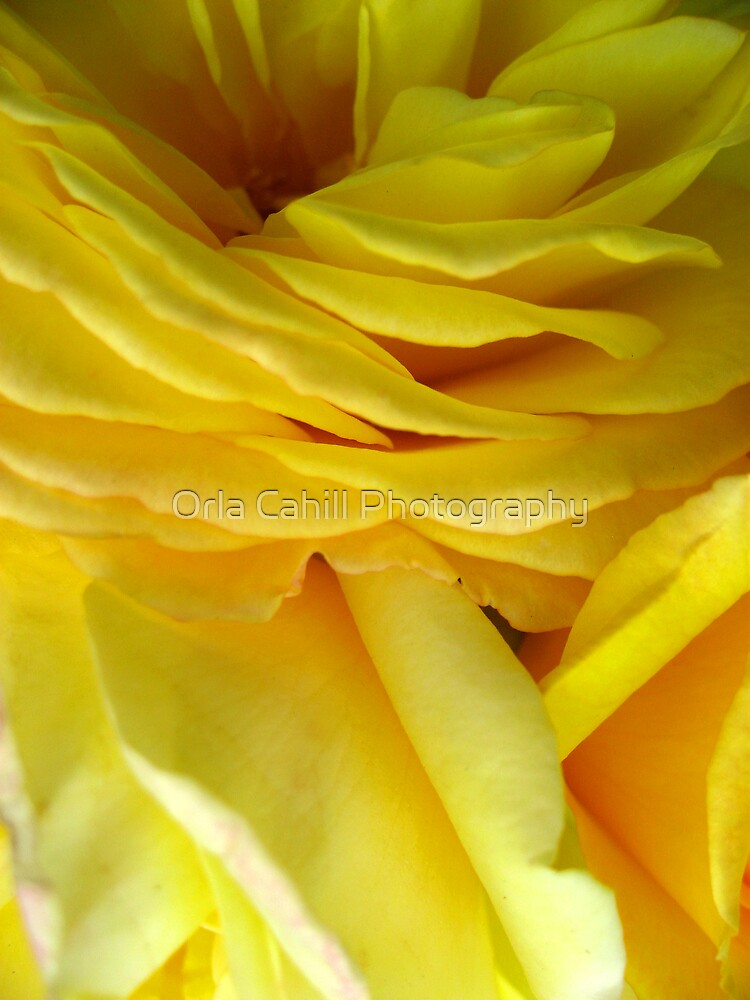 Rose Petal Abstract no.4 by Orla Cahill Photography
